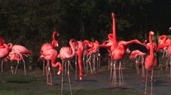 Flamingo in group pink - stock footage