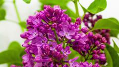 Lilac flower (syringa) blossoming Stock Footage