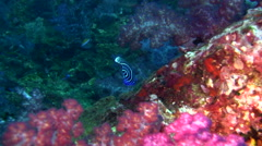 Emperor angelfish (Pomacanthus imperator) juvenile Stock Footage