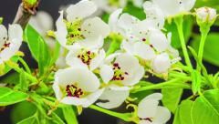 Pear Flower Blossoming Time Lapse Stock Footage