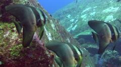 Tall-fin batfish (Platax teira) among boulders - stock footage