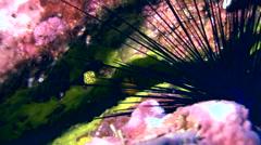 Yellow boxfish (Ostracion cubicus) tiny juvenile Stock Footage