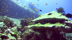 Hard coral with anthias Stock Footage