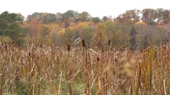 Fall foliage in Ohio park with cattails and tall grass blowing in wind Stock Footage