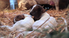 2 Sleepy Kids, Goats Stock Footage