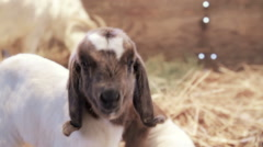 Born Yesterday, goat kid Stock Footage