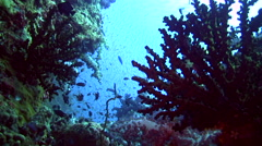 Tree corals and soft corals with school of fishes in the background - stock footage