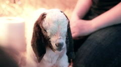 New Kid Baby Goat Stock Footage