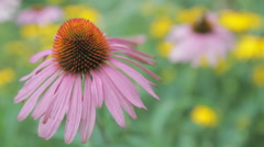 Pink Cone Echinacea Flowers with Bee Stock Footage