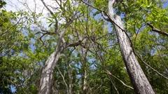 Silk floss trees in Montezuma Stock Footage
