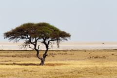 Large Acacia tree in the open savanna plains Africa - stock photo