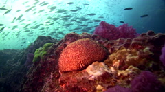 Boulders covered in soft corals with school of fishes in the background hunted - stock footage
