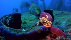 Spotted porcelain crab (Neopetrolisthes maculatus) catching food Stock Footage
