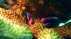 Red spotted coral crab (Trapezia rufopunctata) Stock Footage