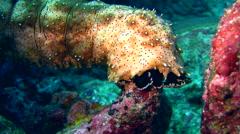 Graeffi sea cucumber (Pearsonathuria graeffei) crawling - stock footage