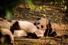 Panda is a national tresure of China Stock Photos
