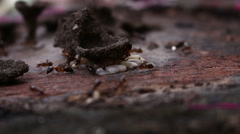 Ants carrying their eggs to safety Stock Footage