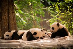 Panda is a national tresure of China - stock photo