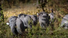 Guinea fowls (Numida meleagris) on a green screen Stock Footage