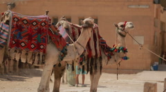 Camels  waiting for tourists, Egypt, Cairo - stock footage