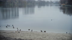 The dog scares a flock of ducks. Stock Footage