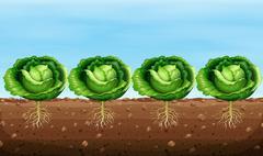 Cabbage plants on the ground - stock illustration