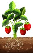 Strawberry plant in the ground - stock illustration