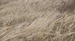 Dry grass swaying in the strong wind at Jeju island Stock Footage