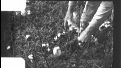 Hands Picking Cotton Field Farm Worker 1930s Vintage Film Home Movie 8804 Stock Footage