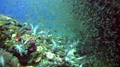 Glassfishes and soft corals between boulders - stock footage