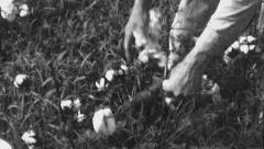 Hands Picking Cotton Field Farm Worker 1930s Vintage Film Home Movie 8805 Stock Footage