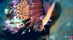 Zebra lionfish (Dendrochirus zebra) Stock Footage