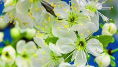 Plum flower growing on a blue background Stock Footage