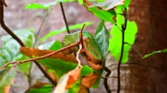 Green Frog Sitting in Tree Stock Footage