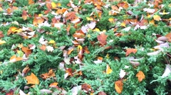 Fall Leaves in Yard Stock Footage