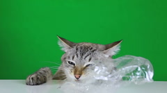 Funny cat sitting at the table and chewing plastic bag. Slow motion - stock footage