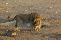 Lion Panthera leo male affectionally greets a cub front left a second cub - stock photo