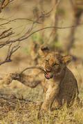 Stock Photo of Lion Panthera leo playful cub biting a twig Savuti Chobe National Park Botswana