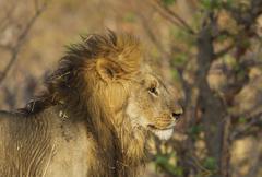 Stock Photo of Lion Panthera leo male Savuti Chobe National Park Botswana Africa