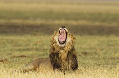 Stock Photo of Lion Panthera leo yawning male Savuti Chobe National Park Botswana Africa
