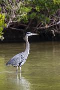 Stock Photo of Grey heron Ardea cinerea standing in water JN Ding Darling National Wildlife