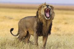 Stock Photo of Lion Panthera leo male standing and yawning Savuti Chobe National Park Botswana
