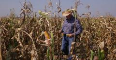 Preoccupied Farmland Manager Inspecting Corn Crop Field Analyze Cereal Harvest Stock Footage