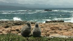 Two seagull chicks watching boat go past.  Stock Footage
