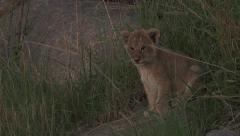 Lion cub  between grass. Stock Footage