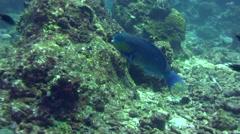 Roundhead parrotfish (Chlorurus strongycephalus) Stock Footage