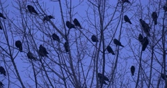 Stock Video Footage of Birds Silhouettes Close Up Flock of Blackbirds Ravens Crows Birds Are Sitting