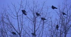Stock Video Footage of Birds Silhouettes Flock of Blackbirds Ravens Crows Birds Are Sitting on a Top
