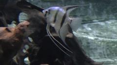 Freshwater Angelfish - stock footage
