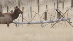 Frenzied elk herd crosses barbed wire  Stock Footage